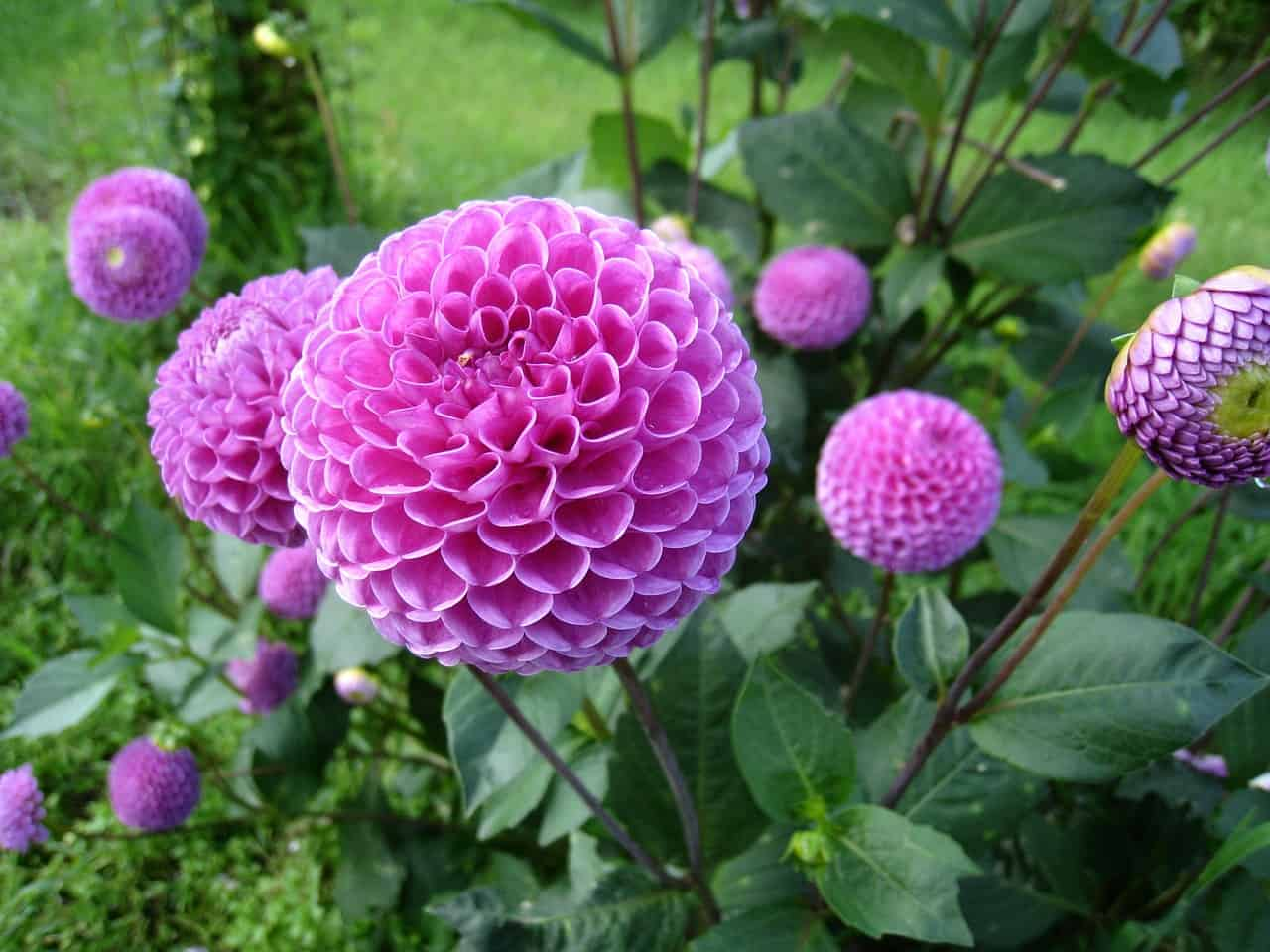 Globe shaped pink dahlias