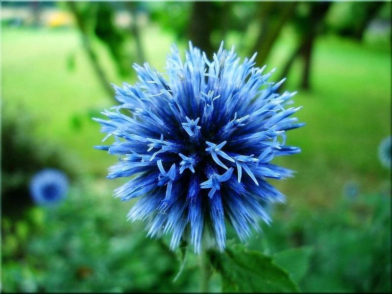 Blue globe thistle