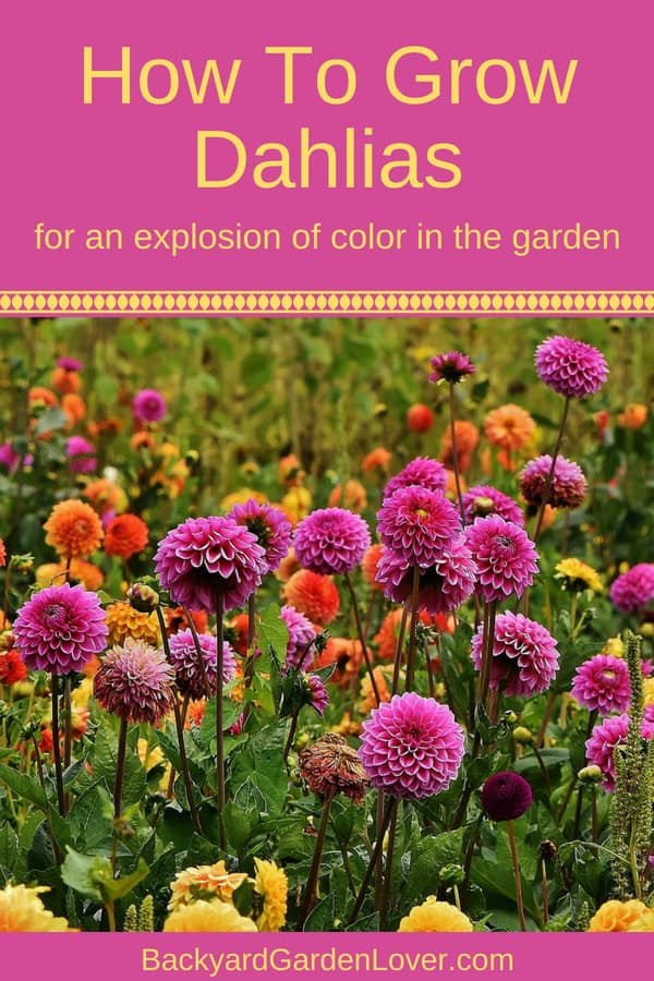 Would you like to explode your garden with color? Dahlias come is many shades of color: from pink and purple, to yellow, orange and white, and even multi-colored. Here are some tips for growing dahlias from cuttings or tubers (bulbs), so you can enjoy a summer filled with pretty colors in your yard.