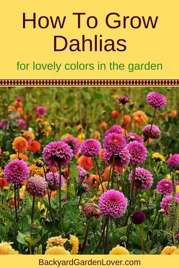 Learn how to grow dahlias and how to care for them. Dahlias can be grown from seed, from cuttings and from tubers. Plant them in late spring for a summer fool of colorful blooms in your garden.
