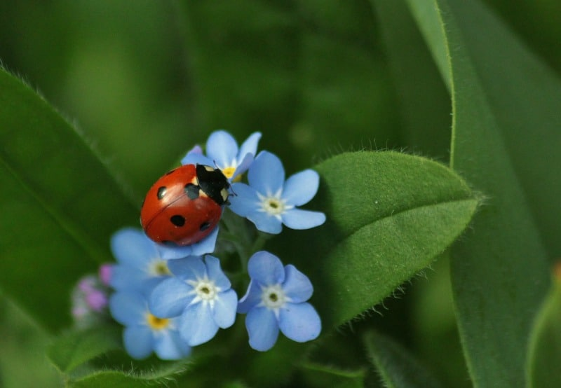 Ladybug on forget me not flowers