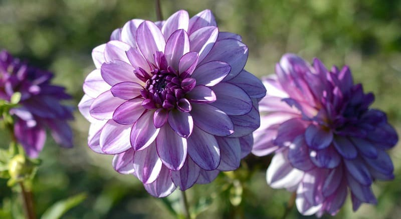 Lavender and purple dahlias