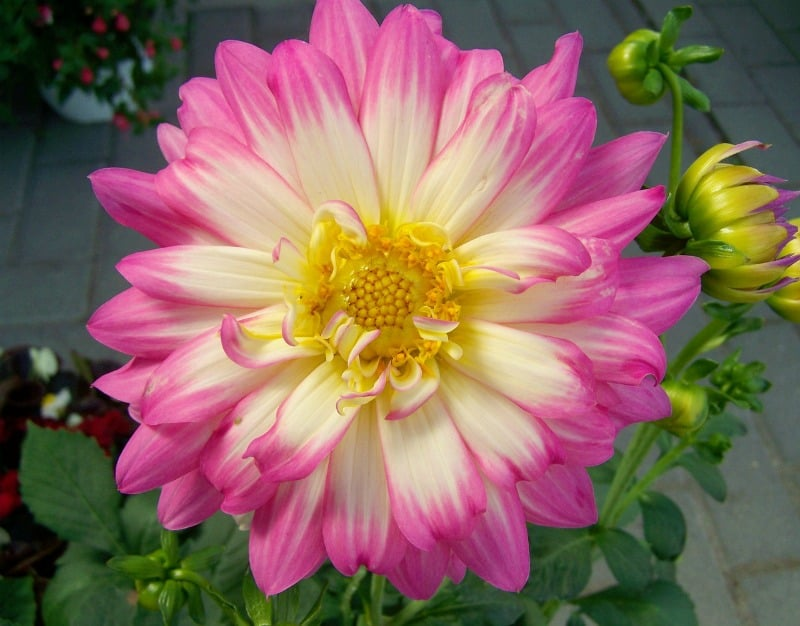Pink and yellow pastel dahlia