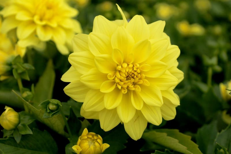 Yellow dahlia flowers
