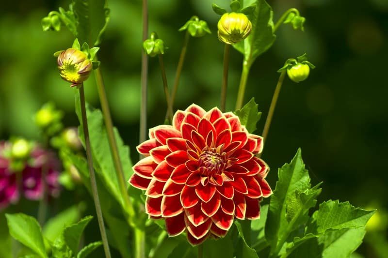 Redn and yellow dahlia