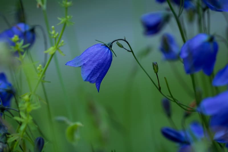 Round leaved bellflower
