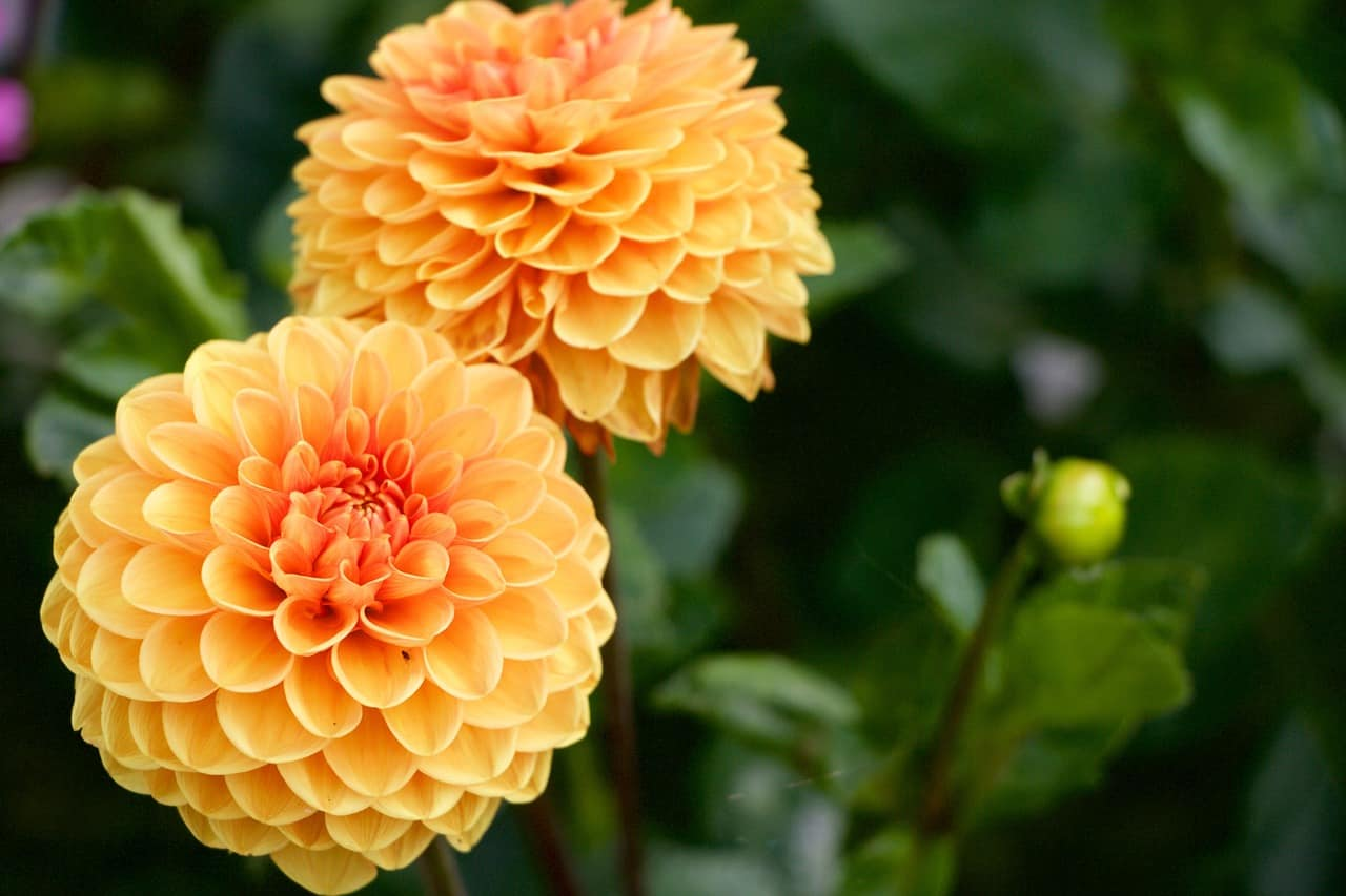 Yellow orange dahlia