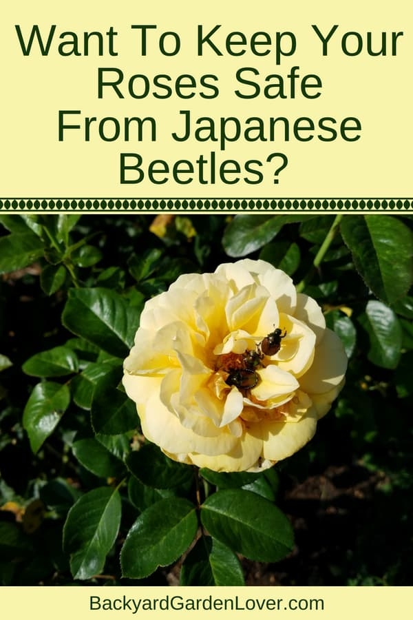 How to keep your roses free of Japanese beetles