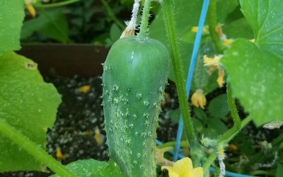 Cucumber almost ready to pick