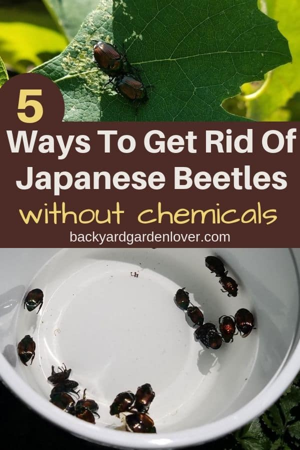 Tired of Japanese beetles chomping down on your garden? Here are 5 natural ways to get rid of Japanese beetles: no chemicals! Getting rid of them this year, will also diminish their numbers for next year, since they aren't multiplying ;). #japanesebeetles #gardenbugs #summerbugs #naturalpestcontol #organicgardening #gardener #beautifulsummergarden