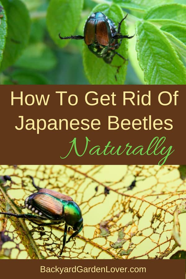 You know the feeling when you see the signs of a Japanese beetles attack. Learn how to get rid of Japanese beetles naturally with these tips. Save your roses, grapevines and veggies with these quick and easy homemade solutions. #japanesebeetles #pests #gardenbugs #grubs #gardener #gardeningtips #gardenproblems