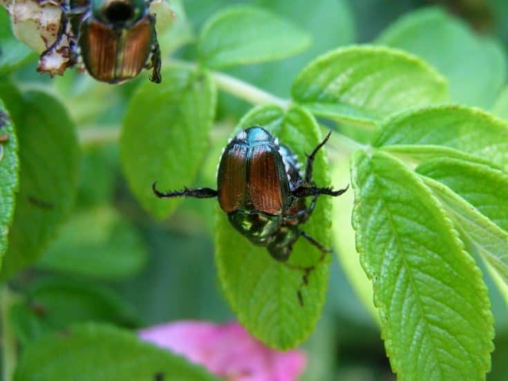 How To Get Rid Of Japanese Beetles And Save Your Garden
