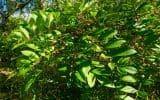 Poison sumac plants