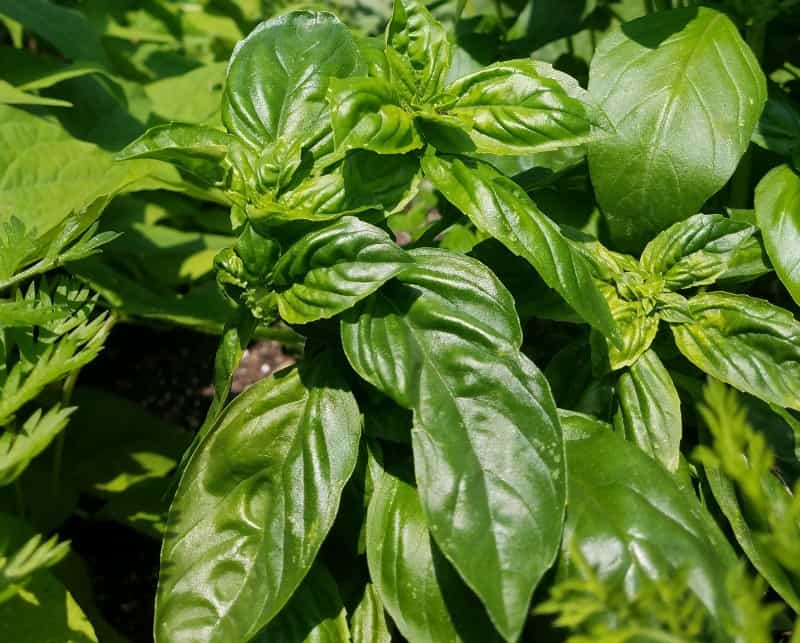 Basil growing in my garden