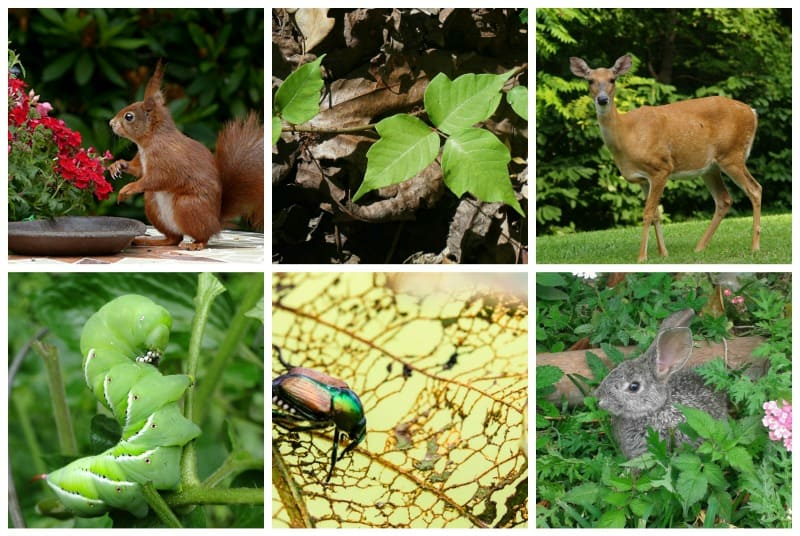 Collage of gardening problems: poison ivy, deer, squirrels, Japanese beetles, etc.