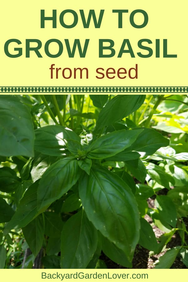 STOP buying expensive basil from the grocery store, and learn how to grow basil from seed: it's easy to do both indoors and outdoors, straight in your garden beds or in a pot. Enjoy fresh basil in your cooking, dry or freeze for winter, and make pesto. YUM! #basil #herbs #organicgarden #gardenfresh #gardeningtips #gardener