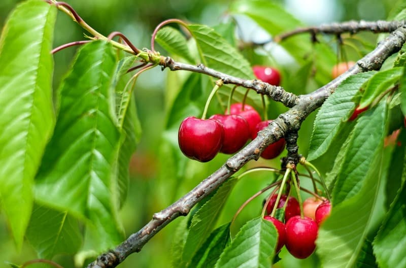 Cherry fruit hanging on a cherry tree branch