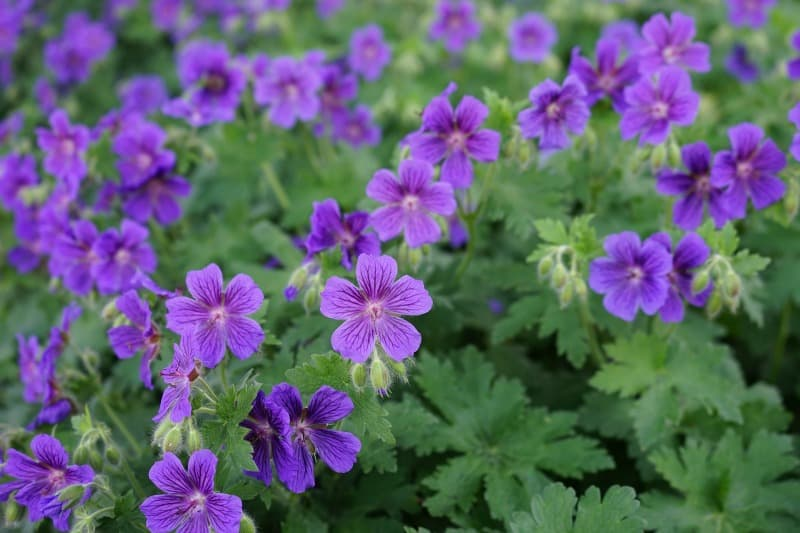 Pretty purple wild geraniums growing under a pine tree