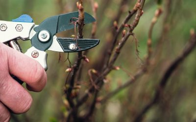 Pruning a black currant plant in garden
