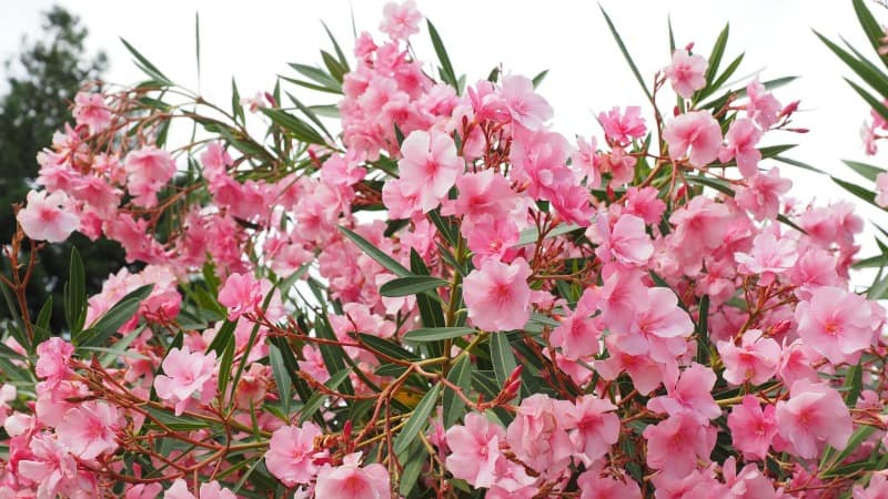 Oleander bush in bloom with pretty pink flowers