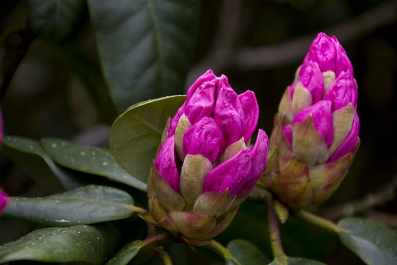 Pink rhododendron buds