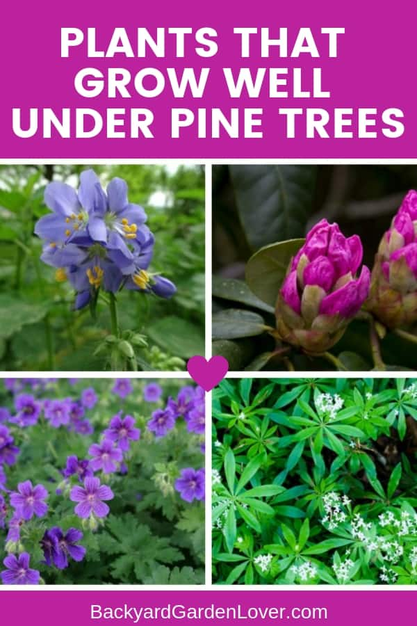 Need to cover up some unsightly spots under your pine trees? Take a look at this list of plants that thrive under pine trees. There's a bit of everything: shrubs, cover grounds and flowers. #prettyflowers #flowergarden #gardeningtips #landscaping #landscapingideas #pinetrees #acidsoil #bgl