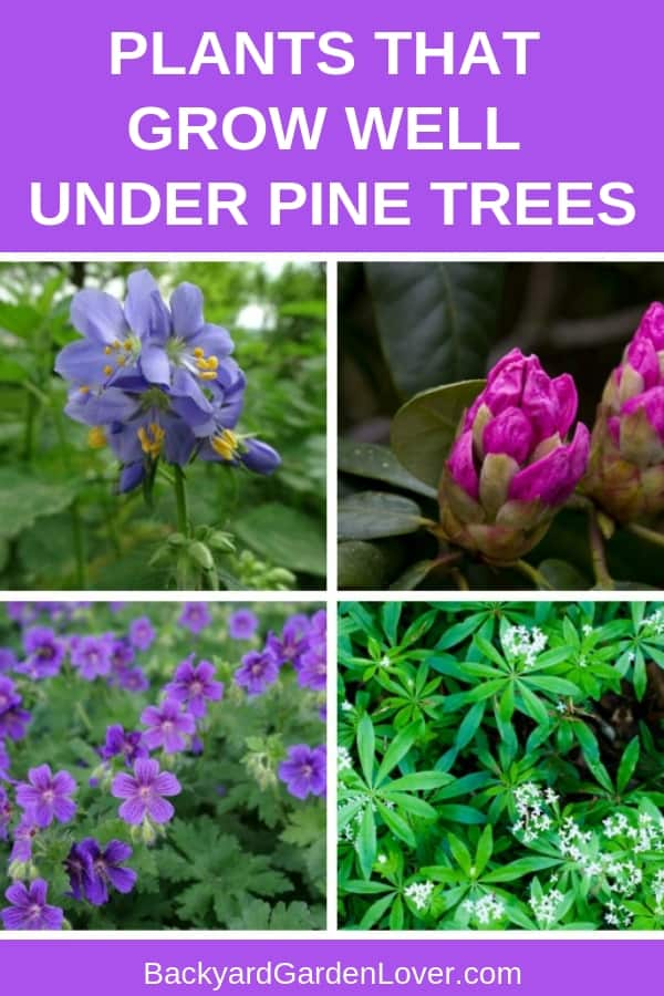 If you need plants that can grow under pine trees, you'll be pleasantly surprised to see this list. You can grow some beautiful flowers, that not only look good, but some even smell good. You have options of flowers, shrubs and cover grounds. Take a peek and see which one you'd like under your pine tree. #pinetrees #acidsoil #prettyflowers #flowergarden #gardeningtips #landscaping #landscapingideas