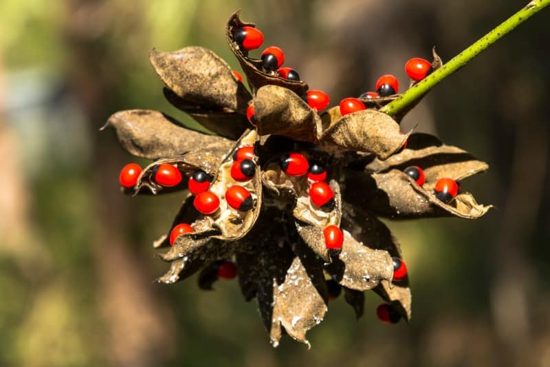 Rosary pea or precatory bean, one of the most poisonous plants in the world