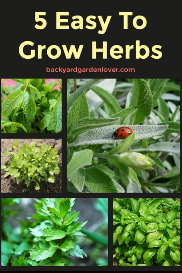 Herbs are not only easy to grow, they are also amazing flavor additions to your cooking. Here are 5 easy to grow herbs even beginners can successfully grow. It doesn't matter if you only have room for a herb pot on your patio, a raised garden bed, or an entire corner of the garden. Make your herb kitchen garden close by for easy access. #herbs #gardening #organic #foodflavoring #herbgarden #gardeningtips #cookingwithherbs #bgl