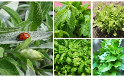 Easy to grow herbs: peppermint, basil, sage, cilantro and lovage