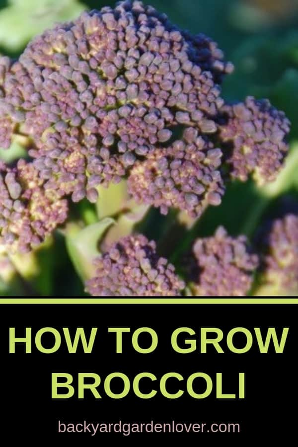 Growing broccoli from seed is inexpensive and so rewarding! Check out these step by step instructions (with pictures) on how to grow broccoli in your garden (in pots, raised beds, or just straight out in your garden beds). Includes tips for harvesting and cooking broccoli too. #harvest #broccoli #gardening #organic #organicgarden #gardeningtips #vegetablegardening #bgl