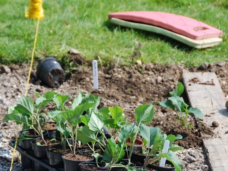 Planting broccoli in the garden