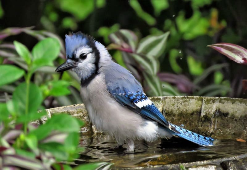 Blue jay in the birf bath. They eat caterpillars and beetles and protect your garden.