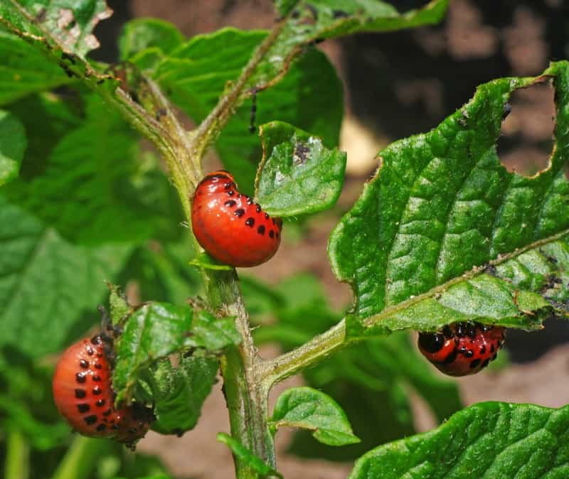 Colorado potato beetle larvae eat the foliage of potato