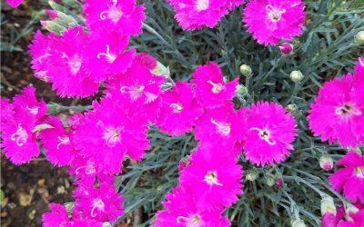 Pink dyanthus