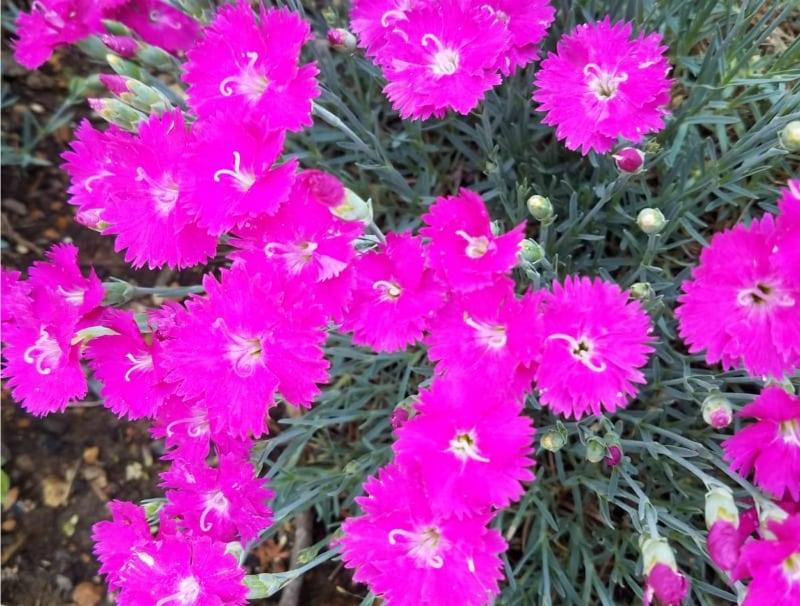 hot pink dianthus