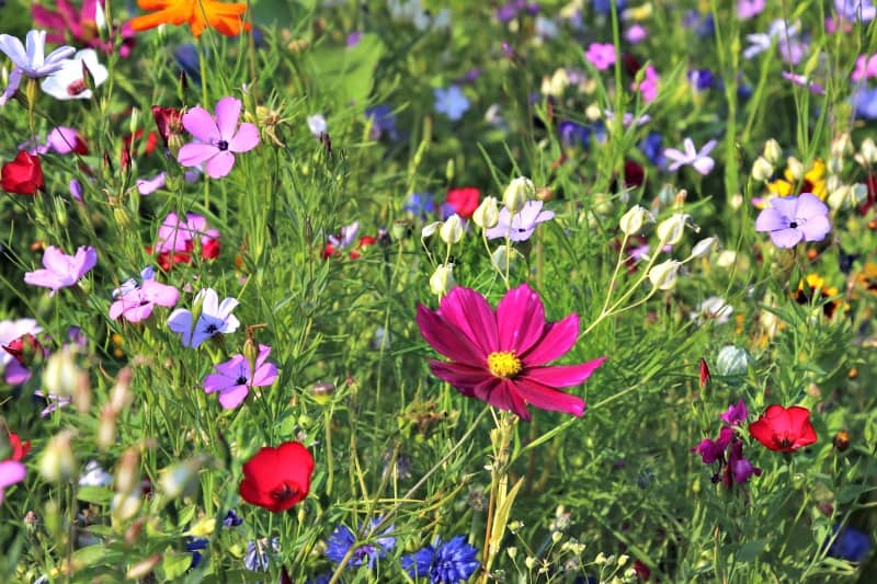 Beautiful, multi-colored wildflowers