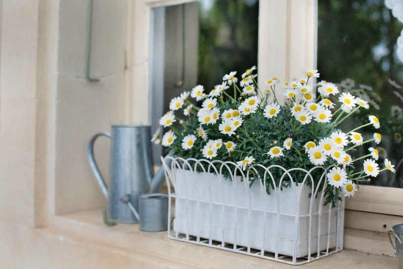 Flower box planter with white daisies