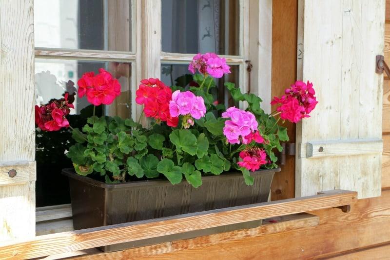 Pinka and red geraniums