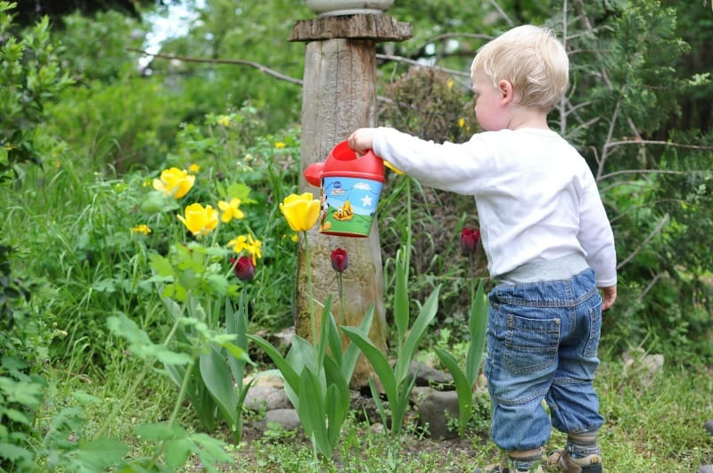 Small child watering tulips in the garden