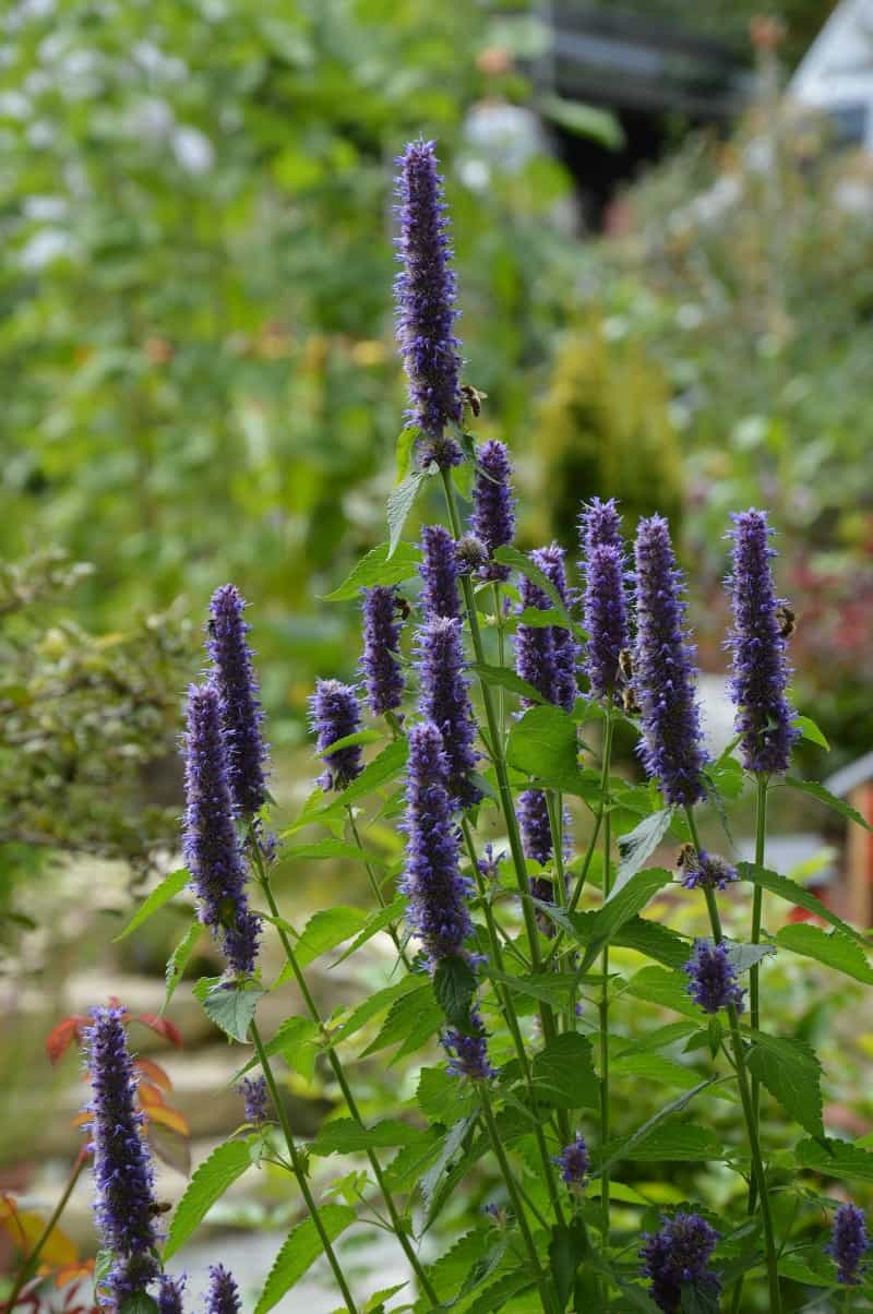 Purple agastache flowers