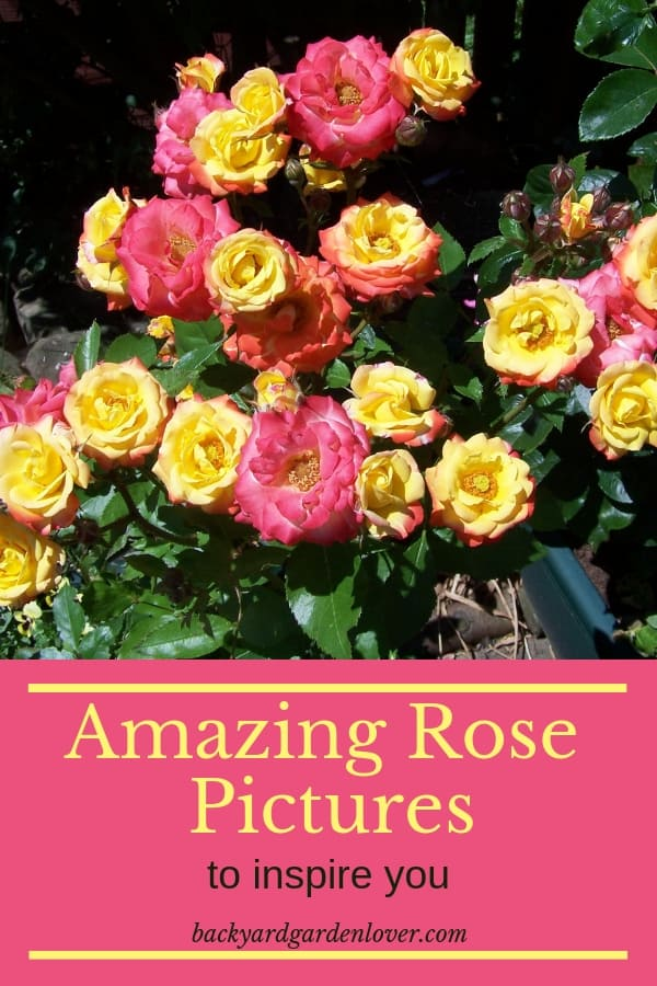 Roses are beautiful in any garden. If you need a bit of inspiration for your new rose garden, we have lots of them here: more than 40. You'll see white, red, yellow, orange and pink roses, single roses and rose arches. So much beauty! #roses #rosepictures #beautifulroses #rosegarden #curbappeal #cottagestyle #garden #gardening #landscape #flowers