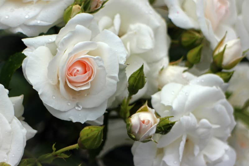 Creamy white rose blooms