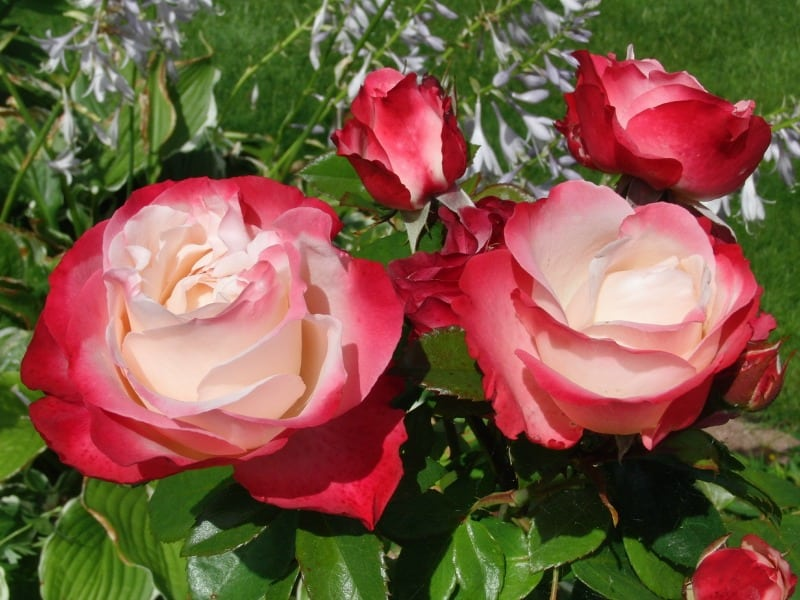Delicate red roses with pink and white center