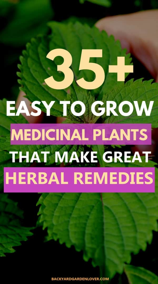 Did you know there are many medicinal plants and herbs you can easily grow in your backyard garden? You'll have everything you need to make natural remedies like healing salves, teas, and tinctures. Here are 35 easy to grow medicinal plants you'll love. #herbs #medicinalplants #garden #gardening #naturalremedies #organicherbs #growyourown