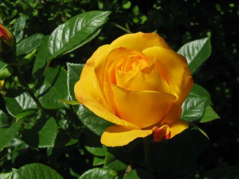 Floribunda gold rose