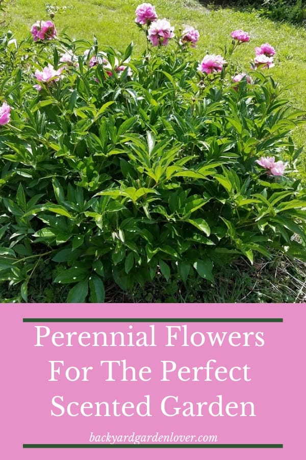 If you want a scented garden, there fragrant perennial flowers will give you major inspiration. With flowers like peonies, roses, four o'clocks, lavender, honey suckle and more, there's something for everyone. #perennials #fragrantflowers #scentedflowers #landscaping #gardening #flowers