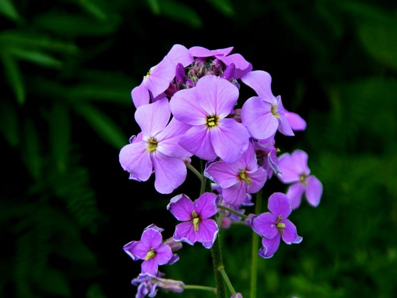 Lavender colored garden phlox