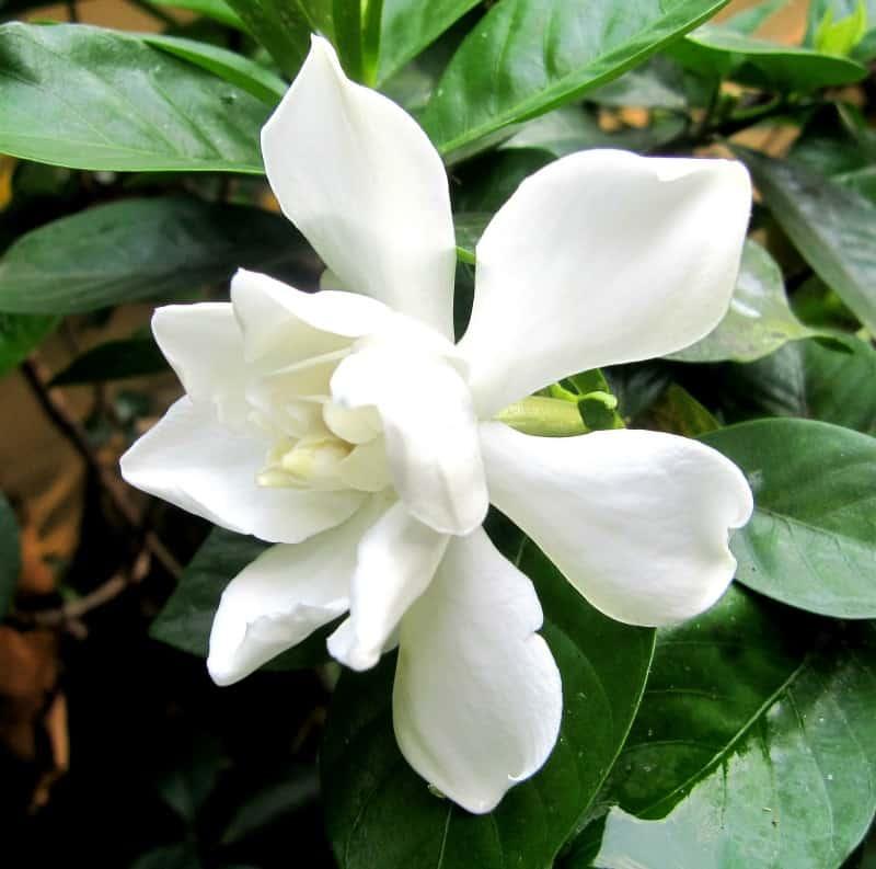 Frostproof gardenia - gardenia jasminoides