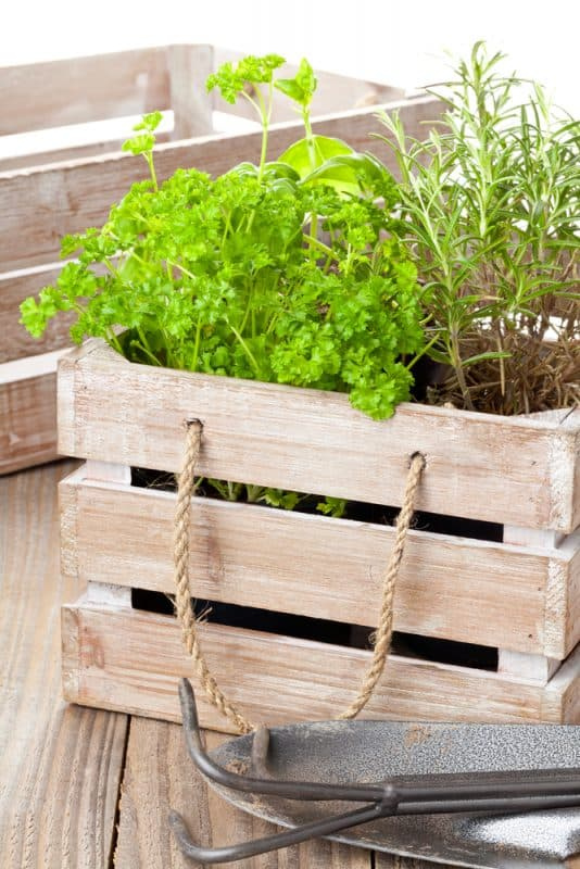 Herbs growing in wooden crate